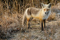 Red fox a emerges from tall grass Royalty Free Stock Photography