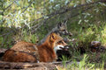 Red Fox Family Royalty Free Stock Photography