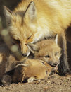 Red fox family vulpes vulpes female and cubs Royalty Free Stock Photos
