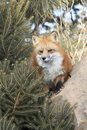 Red fox by fir tree staining near on rock Royalty Free Stock Image