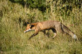 Red fox foraging in field on sunny day Stock Photos