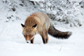 Red fox foxiin a winter setting Royalty Free Stock Image