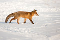 Red fox foxiin a winter setting Stock Photos