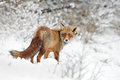 Red fox foxiin a winter setting Royalty Free Stock Photo