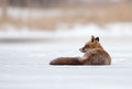 Red fox foxiin a winter setting Royalty Free Stock Photography