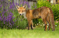 Red fox in the garden Royalty Free Stock Photo