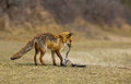 Red fox and a gnawed off prey Royalty Free Stock Photo