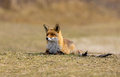 Red fox and a gnawed off prey Stock Photography