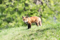 Red Fox on a grassy hill Royalty Free Stock Photo