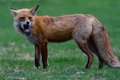 Red fox growling Royalty Free Stock Photo