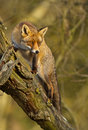 Red fox has climb into a tree Stock Photo