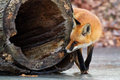 Red fox hollow log stalking by a Stock Photo