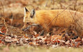 Red fox hunting Stock Images