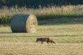 Red fox hunting in a field jura france vulpes vulpes Stock Photos