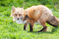 Red fox hunting in a green meadow Stock Photography