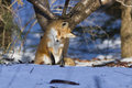 Red fox hunting hunting mices a wild in winter Royalty Free Stock Photo