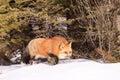 Red fox hunting prey Royalty Free Stock Photo
