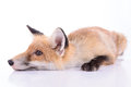 Red fox isolated animal on white background Royalty Free Stock Photo