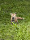 Red fox kit baby out exploring the world Stock Photo