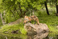 Red fox and kit mom pup standing in a scenic location by a river Stock Image