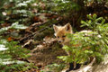 Red fox kit a playfully looks around a shrub for its mother algonquin park ontario canada Royalty Free Stock Image