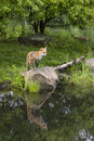 Red fox with kit playing in the background beautiful reflection Stock Photo