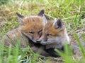 Red Fox Kits Royalty Free Stock Photo