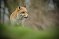 Red fox licking his lips Royalty Free Stock Photo