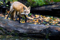 Red fox on a log over a pond Stock Photo