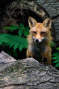 Red fox log peering looking staring out from with black paws and amber eyes Royalty Free Stock Photos