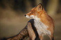 Red fox looking back Royalty Free Stock Photo