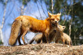 Red fox mother and kits an intimate moment between a her two in algonquin provincial park ontario canada Stock Images