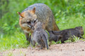 Red fox mother and newborns Royalty Free Stock Photo