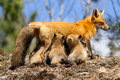 Red fox mother nursing kits a nurses her six young Royalty Free Stock Photo