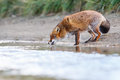 Red fox a near the water Royalty Free Stock Photos