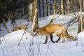 Red fox pair vulpes vulpes in winter Stock Image
