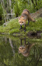 Red fox with perfect reflection ready to drink at water s edge Stock Photos