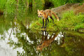 A red fox plays near a clear pond adult water Royalty Free Stock Photos