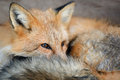 Red fox portrait Royalty Free Stock Photo