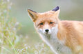 Red fox portrait of a in the wild with green blurred background Royalty Free Stock Image
