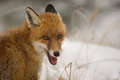 Red fox portrait in the winter Royalty Free Stock Photo