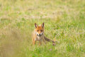 Red fox with a prey wild common field mouse Royalty Free Stock Image