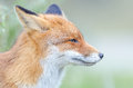Red fox profile portrait of a in the wild with green blurred background Stock Image