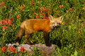 Red Fox Pup Stock Image