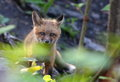 Red Fox pup Royalty Free Stock Photo