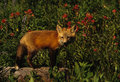 Red Fox Pup in wildflowers Stock Photo