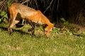 Red fox puppy Stock Photography