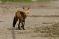 Red fox puppy Royalty Free Stock Images