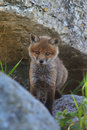 Red fox puppy in its rocky home Stock Images