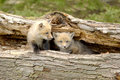 Red Fox Pups Duo - Vulpes vulpes Royalty Free Stock Photo